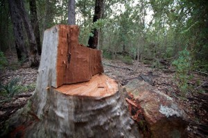 rogue wood cutters busted